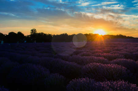 Beautiful sunset over the lavender field in summer.
