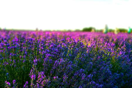 Lavender field in summer close-up shot. 免版税图像