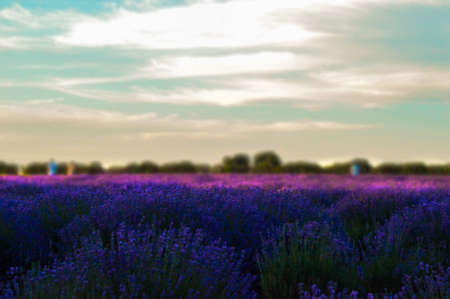 Close up shot of lavender field with blurry background. Standard-Bild