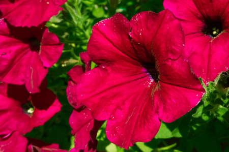 Close-up shot of a red Petunia Zdjęcie Seryjne