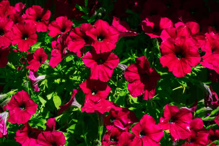 Red Petunias on a background of green leaves Standard-Bild