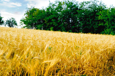 View of a wheat field in summer before harvesting.
