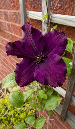 Large flowed, deep purple clematis Rasputin flowering against a trellis and wall 免版税图像