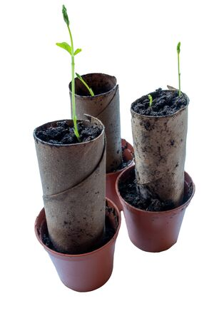 Sweet pea seedlings sprouting in spent toilet rolls isolated on a white background 免版税图像