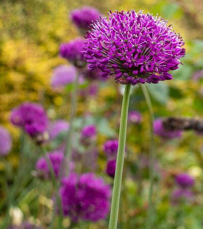An purple allium flower spike in full bloom in the garden border