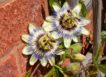 A high angled view of the splendid blooms of the passion flower climber against a wall