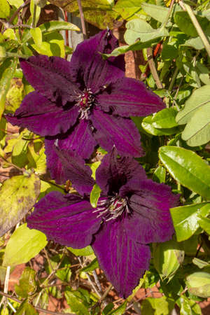 A high angled view of the purple flowers of clematis growing against a wall