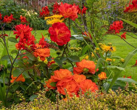 A hot summer border of crocosmia , roses and ox-eyes
