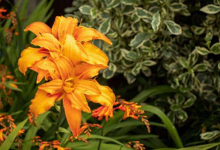 the large orange bloom of day-lily 免版税图像