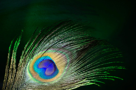peacock eye: beautiful peacock feather close-up on a dark background