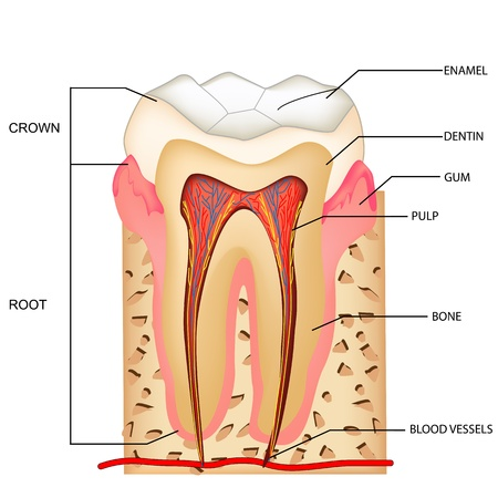illustration of anatomy of teeth with labeling Vector
