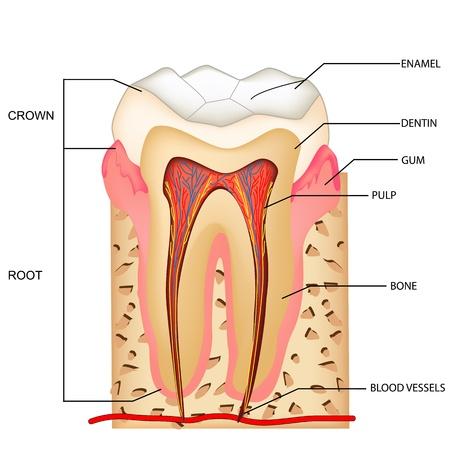 dolor  de diente: Ilustraci�n de la anatom�a de los dientes con etiquetas Vectores