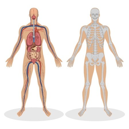 Ilustración de la anatomía humana del hombre sobre fondo blanco