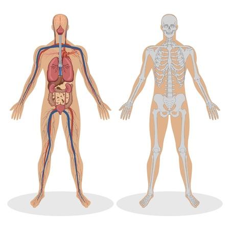 organos internos: Ilustraci�n de la anatom�a humana del hombre sobre fondo blanco