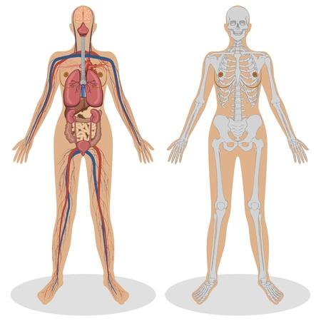 esqueleto humano: Ilustraci�n de anatom�a humana de la mujer sobre fondo blanco