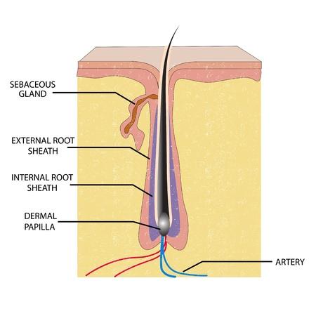 follicle: Ilustraci�n de la anatom�a del cabello con etiqueta sobre fondo blanco