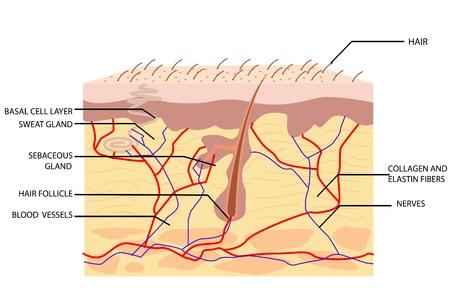 follicle: Ilustraci�n de la anatom�a de la piel con etiqueta sobre fondo blanco Vectores
