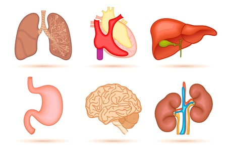 internal: illustration of set of interal organ of human on white background