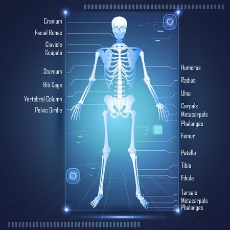 squelette: Illustration de balayage des antomy humaine montrant skelton avec les �tiquettes de tous les os Illustration