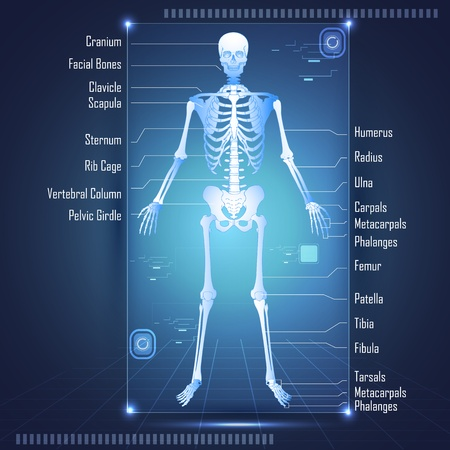 skeleton: illustration of scanning of human antomy showing skelton with labels of all bones Illustration