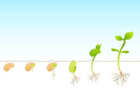 seedling growing: illustration of stages of growth of plant