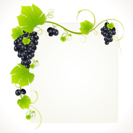 purple grapes: illustration of bunch grape hanging from grapevine Illustration