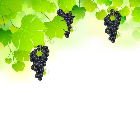grape fruit: illustration of bunch grape hanging from grapevine Stock Photo