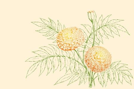 garden marigold: illustration of retro flower on plain background Illustration