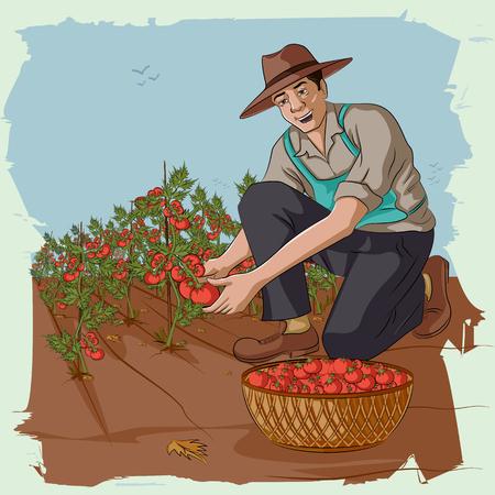 Concept of retro man plucking tomato from farm. Vector illustration