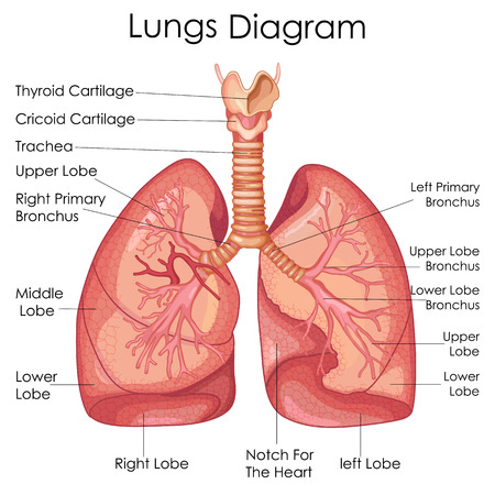 Medical Education Chart of Biology for Lungs Diagram. Vector illustration