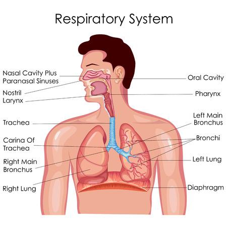 Respiratory System Chart Heartpulsar