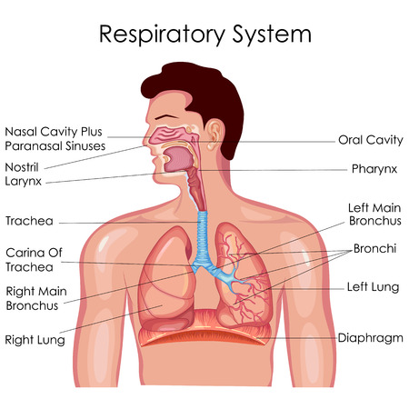 Tableau d'éducation médicale du diagramme de biologie pour le système respiratoire. Illustration vectorielle
