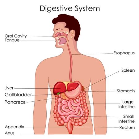 Wunderbar Menschliche Körperorgan Systemdiagramm Fotos - Anatomie ...