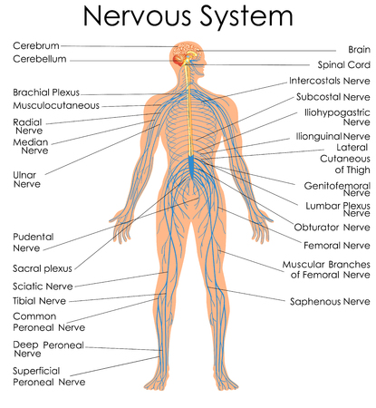 Medical Education Chart of Biology for Nervous System Diagram. Vector illustration