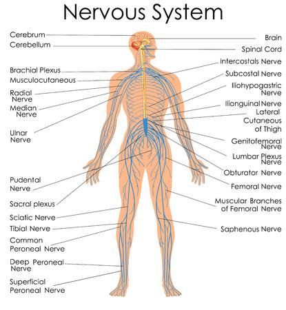 Medische opvoedingsdiagram van de biologie voor het zenuwstelsel. Vector illustratie