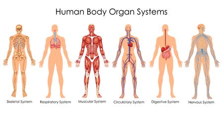 Gráfico de educação médica da biologia para o diagrama do sistema de órgãos do corpo humano. Ilustração vetorial
