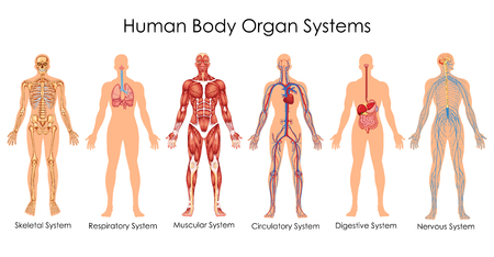 Medical Education Chart of Biology for Human Body Organ System Diagram. Vector illustration