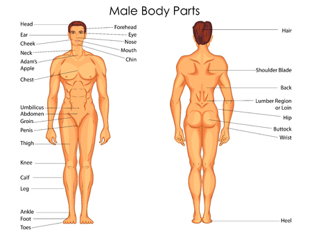 groin: Medical Education Chart of Biology for Male Body Parts Diagram. Vector illustration