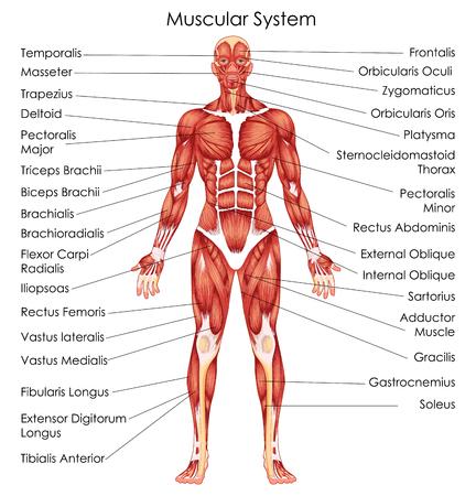 Tableau d'éducation médicale de la biologie pour le diagramme du système musculaire. Illustration vectorielle