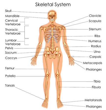 Medical Education Chart of Biology for Skeletal System Diagram. Vector illustration