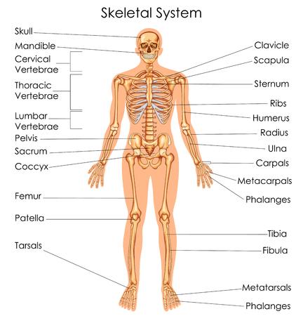 Tableau d'éducation médicale de la biologie pour le schéma du système squelettique. Illustration vectorielle