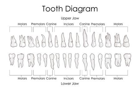 medical education chart of biology for human teeth diagram vector rh 123rf com tooth diagram chart numbers tooth diagram chart numbers