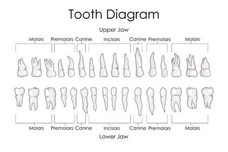 incisor: Medical Education Chart of Biology for Human Teeth Diagram. Vector illustration Illustration