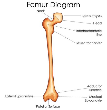 Medical Education Chart of Biology for Femur Bone Diagram. Vector illustration