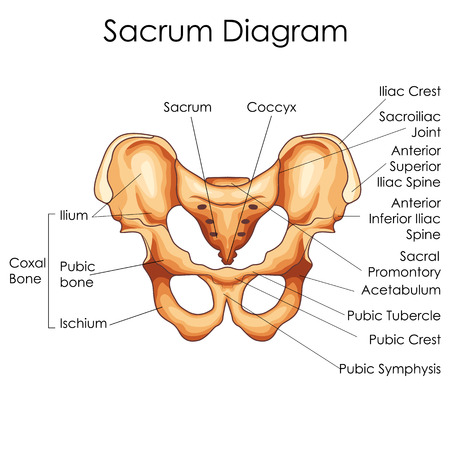 Medical Education Chart of Biology for Sacrum Diagram. Vector illustration
