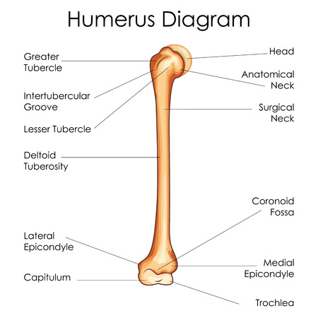 medical education chart of biology for humerus diagram vector