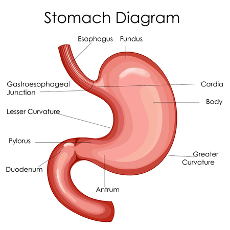 Medical Education Chart of Biology for Stomach Diagram. Vector illustration