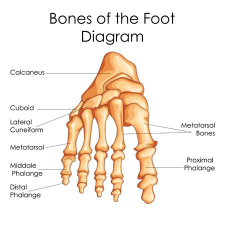 Carta de la educación médica de la biología para los huesos del diagrama del pie. Ilustración del vector