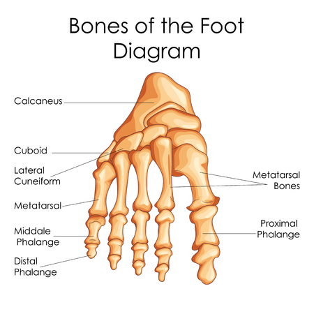 Medical Education Chart of Biology for Bones of Foot Diagram. Vector illustration
