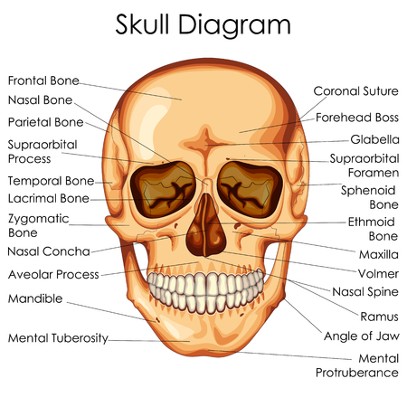 Medical Education Chart of Biology for Human Skull Diagram. Vector illustration Ilustração